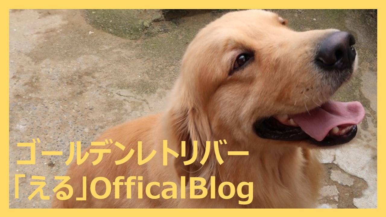 ゴールデンレトリバー「える」OfficalBlog